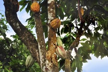Aventura en la selva tropical de San José con cata de chocolate