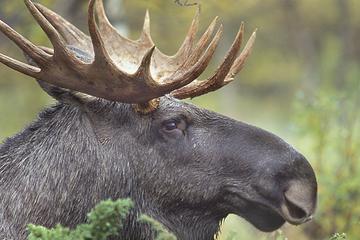 Safari de Vida Selvagem ao pôr do sol saindo de Estocolmo