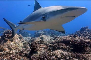 Shark Scuba Diving Safari (qualified divers only)