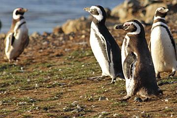 Camine con los pingüinos en Isla Martillo
