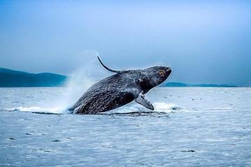 Excursión de avistamiento de ballenas por el puente Golden Gate de...