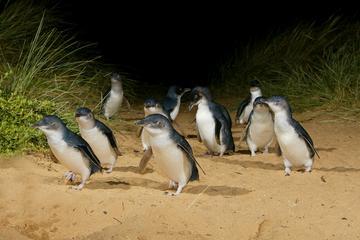 メルボルン午後発フィリップ島野生動物ツアーとペ…