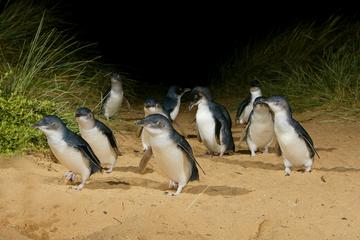 メルボルン発フィリップ島野生動物ツアー、ペンギ…