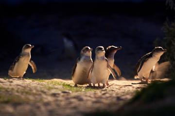 メルボルン発:フィリップ島ペンギン パレード小…