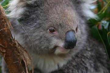 Melbourne Landausflug: Healesville Sanctuary und Fahrt mit der...