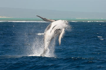 Guided Humpback Whale Swimming...