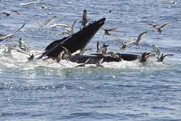 Crociera con avvistamento di balene a Reykjavik più biglietto