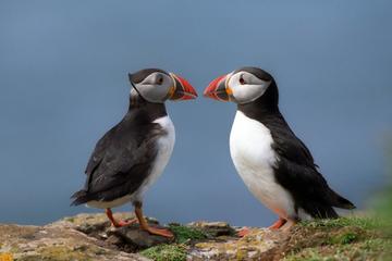 Papegaaiduikercruise naar Akurey vanuit Reykjavik