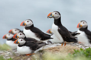 Reykjavik Shore Excursion: Puffin Cruise