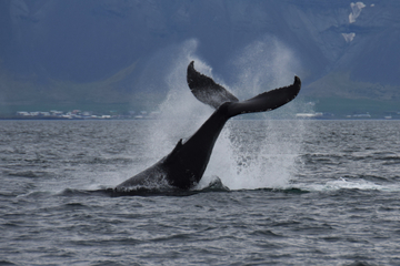 Walvissen spotten vanuit Reykjavik