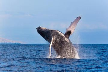 reykjavik-croisiere-observation-baleines