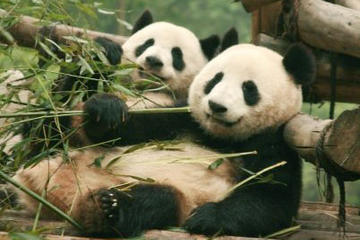Chengdu Full-Day Tour: Panda Breeding...