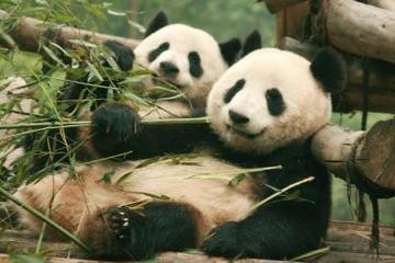 Excursão de dia inteiro em Chengdu...