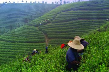 Experiência em Chengdu: Excursão Particular de Produção de Chá na...