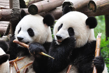 Giant Pandas in Chengdu