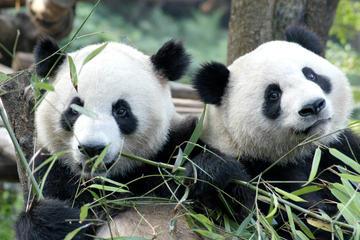 Tour de medio día por el centro de cría de pandas de Chengdu con la...