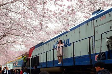 Jinhae Cherry Blossom Festival 1 Day Tour from Seoul