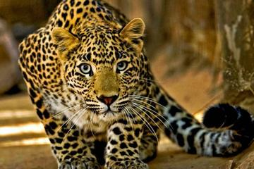 Narlai Trip from Udaipur with Leopards Village Walk and Step Well Dinner