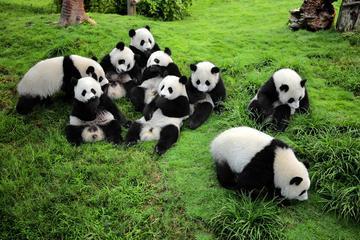Taste of Chengdu:Panda & Chuancai Museum