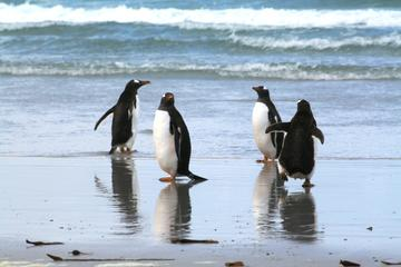 Gentoo Penguins at Berthas Beach Guided Tour from Stanley
