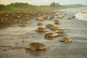 Limon Shore Excursion: Tortuguero...