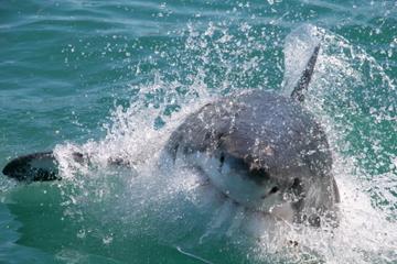 Buceo en jaula de observación con tiburones blancos desde Ciudad del...