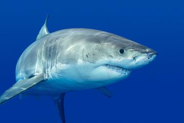 Excursão particular: mergulhe em gaiola com tubarões brancos na...