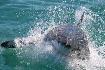 Immersione in gabbia con i grandi squali bianchi da Città del Capo