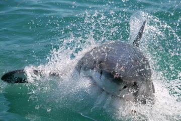Kooiduiken met witte haaien vanuit Kaapstad