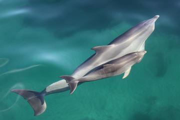 Croisière d'observation des dauphins au départ d'Adélaïde avec nage...