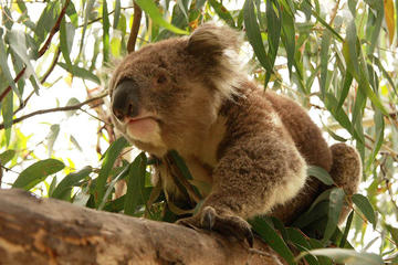 Tour privato: Phillip Island, parata dei pinguini e Koala