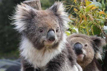 Billets d'entrée au Jardin des koalas de Kuranda et à Birdworld