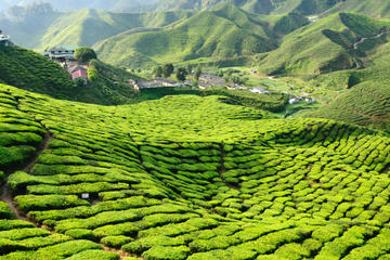 3-Night Cameron Highlands and Penang Tour from KL