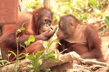 Privétour: Orangutan Island, Taiping Zoo en Perak Museum van Penang