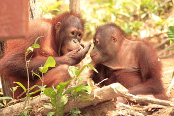 Orangutan Island, Taiping Zoo and Perak Museum