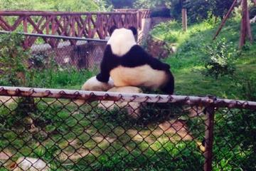 Half-day Private Panda Tour with  Vegetarian Lunch in Nunnery