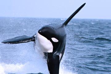 Halbtägiges Walbeobachtungsabenteuer ab Vancouver