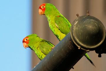 Excursão a pé com os papagaios selvagens de Telegraph Hill em São...