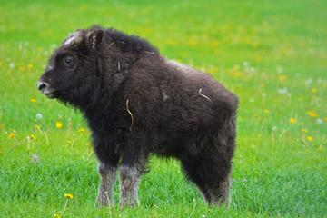 Mountains & Musk Ox of the Mat-Su...