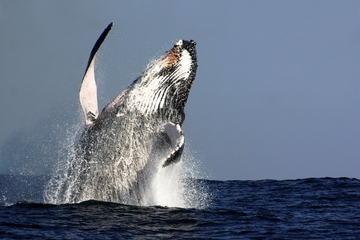 Cruzeiro para observação de baleias com almoço incluso