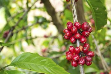 Excursión de un día a la plantación de café Adjuntas desde San Juan