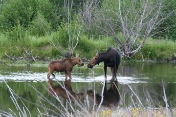 Safari de animales en jeep en Grand Teton para grupos pequeños