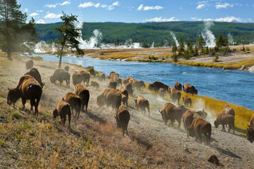 Yellowstone Old Faithful Wildlife...