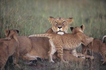 7-Night Kenya Basic Camping Safari from Nairobi: Masai Mara and Loita Hills