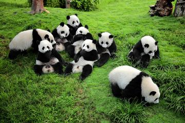 Guided Chengdu Day Tour including the...