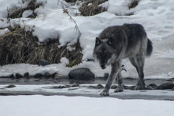 Book Yellowstone Winter Wolf & Wildlife Day Tour on Viator