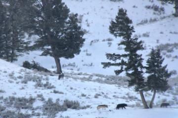 Book Yellowstone Wolves and Wildlife 5-Day Package on Viator
