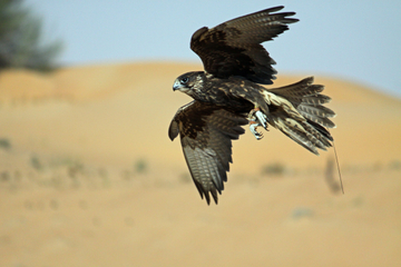 Tour met kennismaking met valkerij en wilde dieren in Dubai