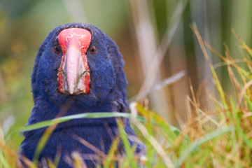 Insel Tiritiri Matangi: Tagesausflug ab Auckland mit optionaler...