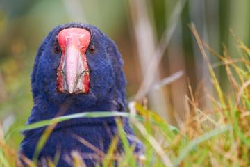 Viagem de um dia na Ilha Tiritiri Matangi saindo de Auckland com...